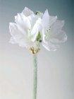 Amaryllis gefrostet weiß 73cm Höhe