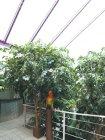 Ficusbaum mit Zweigen          Höhe 320cm