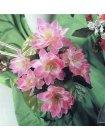 Lotus Bouquet rosé