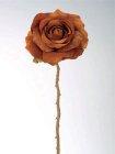 Rose Festival 70cm Höhe schokolade braun